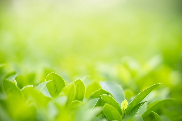Close up of nature view green leaf on blurred greenery background under sunlight with bokeh and copy space using as background natural plants landscape