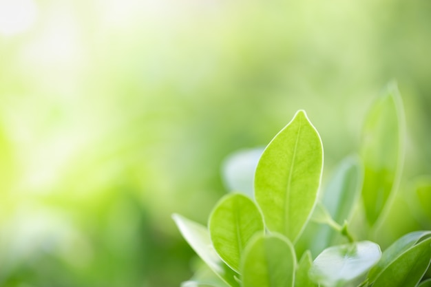 Close up of nature view green leaf on blurred greenery background under sunlight with copy space.