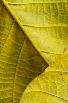 Primo piano dei nervi delle foglie gialle
