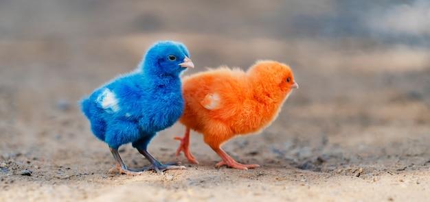 Крупным планом новорожденный цыпленок красный, синий на фоне природы