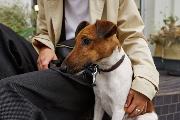 Close up of nice lovely pet dog breed jack russell terrier, sits nearby his owner which hugs him with one hand