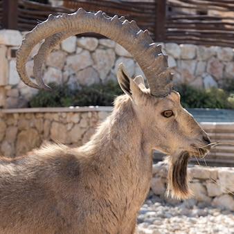 Close-up of nubian ibex (capra nubiana) in desert, makhtesh ramon, negev desert, israel