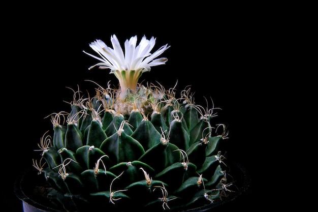 帝冠またはアーティチョークサボテンを白花が咲くクローズアップ