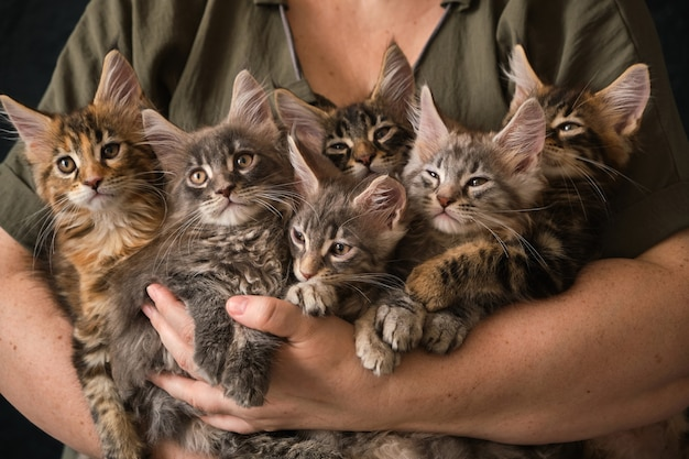 思いやりのある女性の手で6匹の生後2ヶ月のメインクーンの子猫のクローズアップ