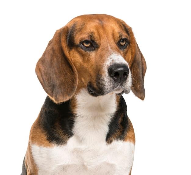 白い壁の前のビーグル犬のクローズアップ