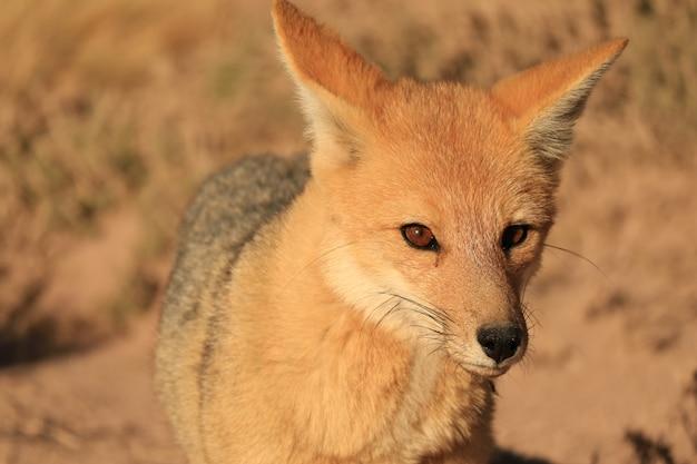 Крупным планом красивых лисиц в пустыне атакама