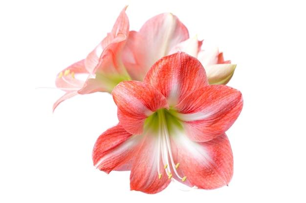 Крупный план красивого цветущего розового цветка с зеленым прямым стеблем на белом