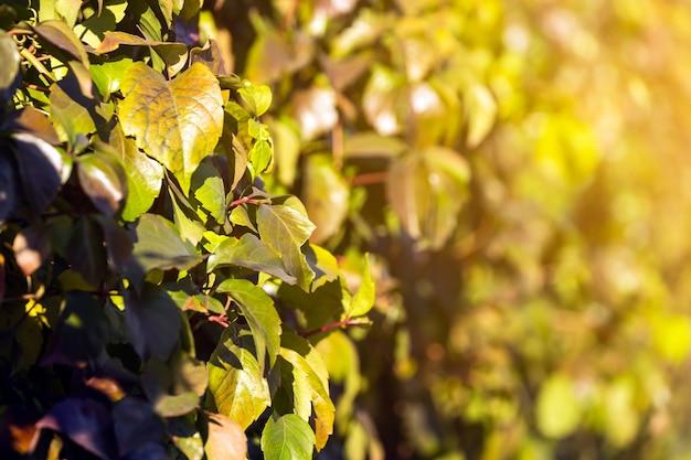 녹색 잎이 있는 아름다운 신선한 덤불 가지를 클로즈업하면 배경이 흐려집니다.