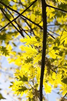 해동과 늦은 봄 동안 아름 다운 신선한 젊은 오크 잎의 근접