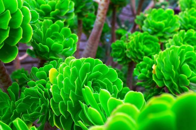 サボテンの緑の美しい庭園のクローズアップ。