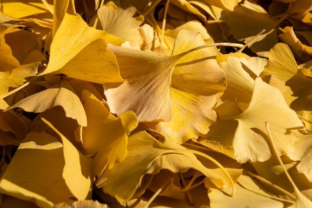 柔らかな秋の光に照らされている美しいイチョウの黄色の葉のクローズアップ。
