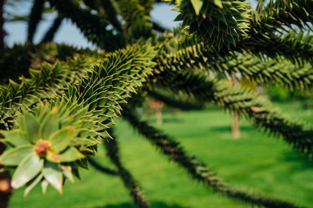 아름다운 녹색 기하학적 장미의 클로즈업, 녹색 정원 배경에 있는 araucaria araucana의 가지.