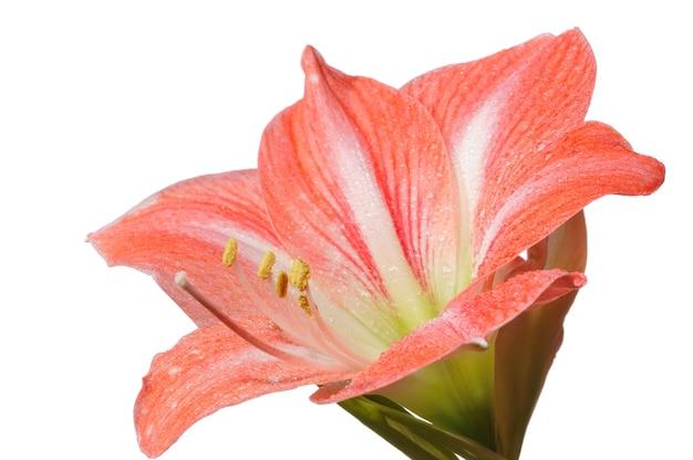 Крупный план красивого розового распускающегося цветка на белой сцене