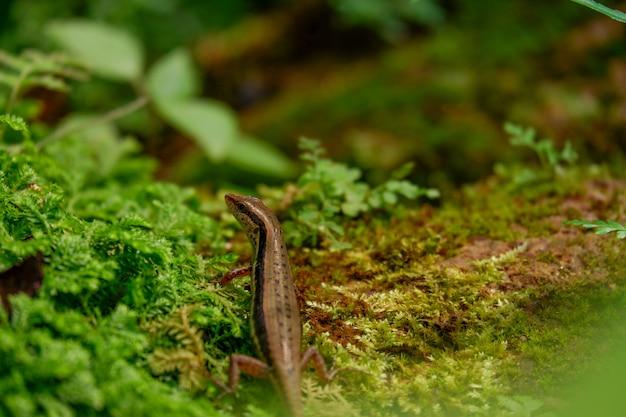 Крупным планом красивая сцинк ящерица