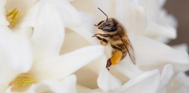 흰 꽃에 꿀을 수집하는 꿀벌의 클로즈업