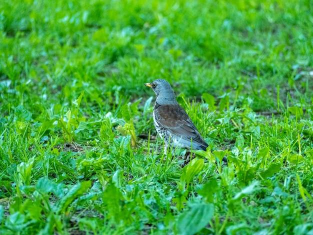 公園で夏に緑の芝生の上を歩く鳥、クロウタドリ、山の灰のクローズアップ。ソングバード