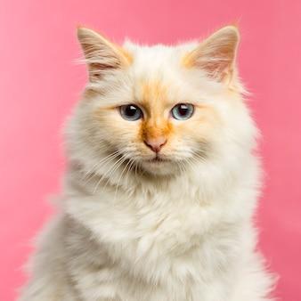 Крупный план бирманской кошки на розовом