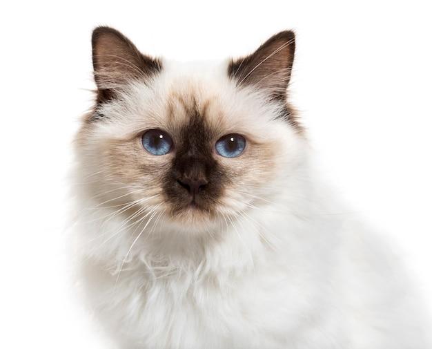 Крупный план бирманской кошки
