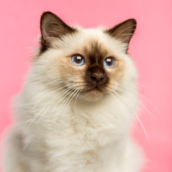 Крупный план котенка бирмана на розовом