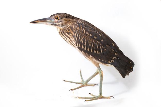Крупный план ночной цапли птицы