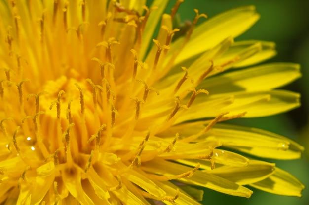 日当たりの良い牧草地に咲く黄色いタンポポのクローズアップ。