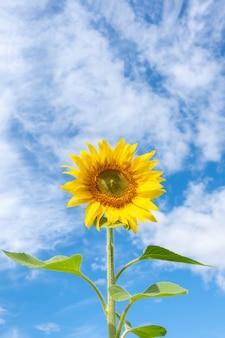 Крупный план цветущего желтого подсолнуха на фоне голубого неба с пушистыми облаками, вертикальной рамкой, копией пространства. подсолнечник как символ лета, счастья, расслабления