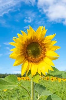 솜털 구름과 푸른 하늘이 필드에 피는 노란 해바라기의 클로즈업.