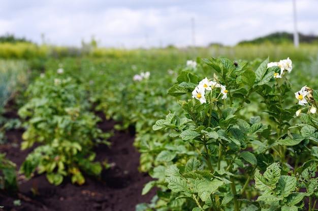 Крупный план цветущей молодой картошки на плантации в саду, эффект перспективы