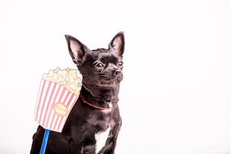 Close-up of a boston terrier dog with popcorn
