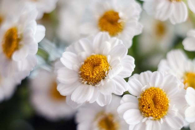 菊畑のデイジーの花束のクローズアップ。カモミール菊のクローズアップ