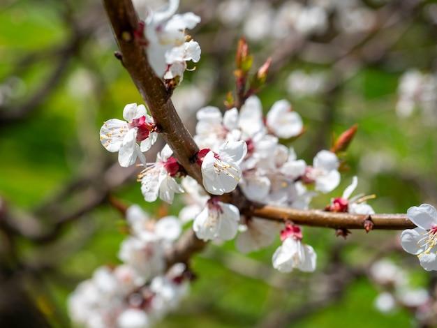白い花と咲くアプリコットの枝のクローズアップ。ぼやけた緑の背景