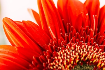Close-up of a bright red gerbera