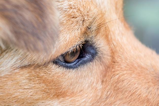 茶色の犬の目のクローズアップ。犬の用心深い目_