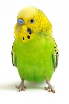 Крупный план попугай волнистый попугайчик