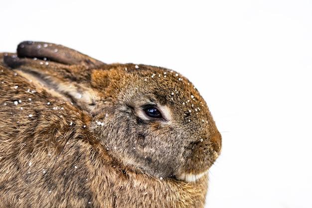 白い雪の上のウサギのクローズアップ。コピースペース