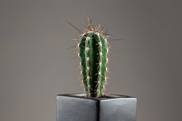 Крупный план кактуса в горшке с длинными шипами на сером офисе. понятие о геморрое, проблемах, тонзиллите, острой боли.