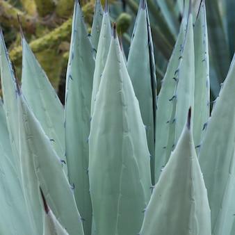 サボテン植物、サンタセシリア、サンミゲルデアジェンデ、グアナフアト、メキシコのクローズアップ
