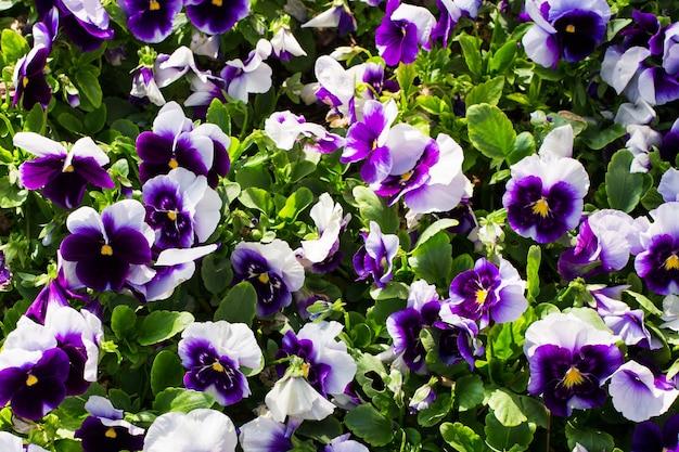 紫スミレビオラのカーペットのクローズアップ-花の背景。