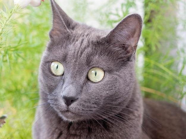 遠くを横に見ている灰色の青い品種の猫のクローズアップ。ぼやけた緑の背景の後ろ