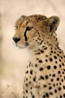 Крупный план гепарда, серенгети, танзания