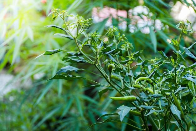 녹색 chilis와 칠리 식물의 클로즈업