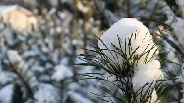 軽い雪の結晶とクリスマスツリーのクローズアップ。クリスマスツリーの枝は雪、天然トウヒで覆われています。冬の背景。