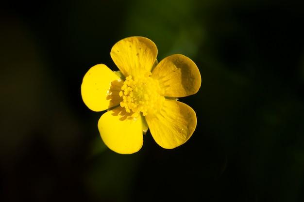 Закройте вверх общих желтых цветов лютика на фоне зеленой травы. лютик луговый ranunculus acris, лютик высокий, лютик гигантский