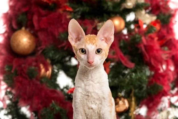 クリスマスツリーの前でカメラを見ているコーニッシュレックスの子猫のクローズアップ