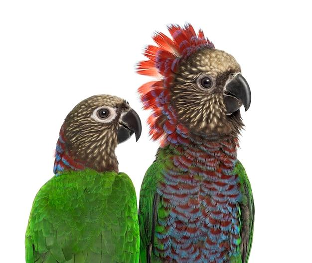 Крупный план пары попугаев red-fan deroptyus accipitrinus, изолированных на белом