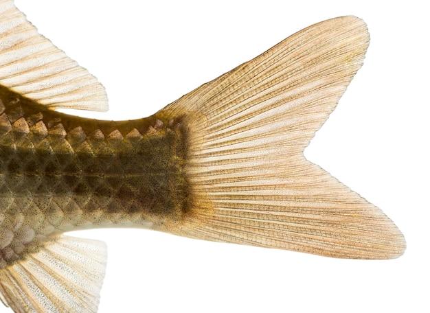 白で隔離されたフナの尾鰭、carassiuscarassiusのクローズアップ