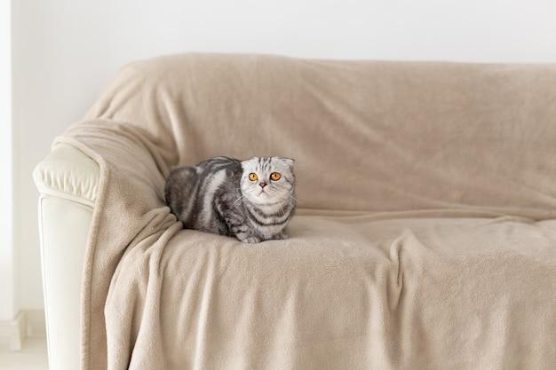 ソファに座って新しいアパートを探索しているかわいい茶色の目の灰色のスコティッシュフォールド猫のクローズアップ。動物のための新築祝いの概念。