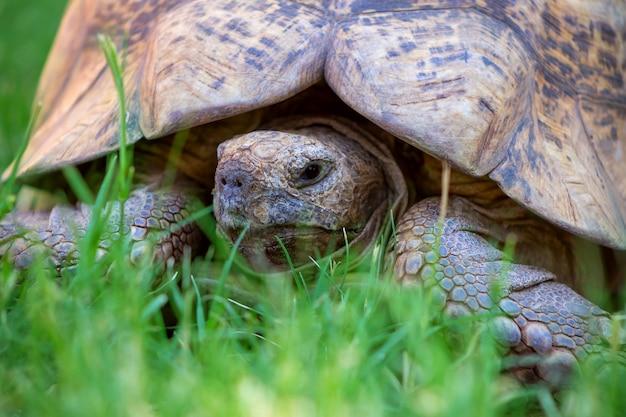 Закройте милую черепаху, лежащую в зеленой траве. намибия
