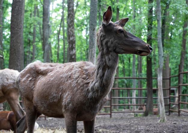 森の中の鹿のクローズアップ。鹿は偶蹄目哺乳類の家族です。野生動物