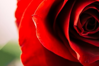Close-up of a delicate red rose